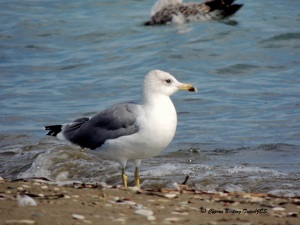 Armenian Gull Spiros Beach 19th October 2015  (c) Cyprus Birding Tours