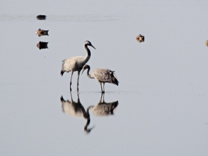 Common Crane Larnaca Sewage Works 21st October 2015 (c) Cyprus Birding Tours