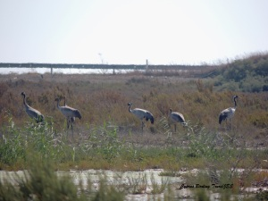 Common Crane Spiros Pool 19th October 2015 (c) Cyprus Birding Tours
