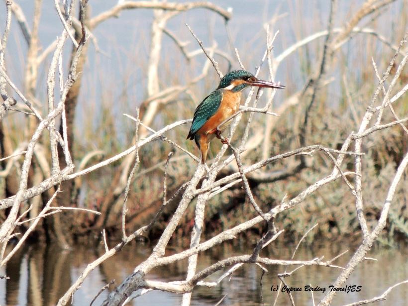 Common Kingfisher Akrotiri Gravel Pits 30th October 2015 (c) Cyprus Birding Tours