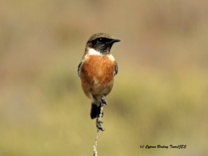 Common Stonechat Spiros Pool 19th October 2015 (c) Cyprus Birding Tours