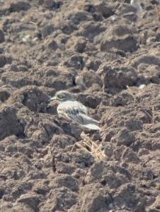 Eurasian Stone Curlew Mandria 15th October 2015 (c) Cyprus Birding Tours