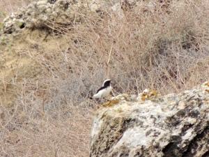 Finsch's Wheatear Agios Sozomenos 23rd October 2015 (c) Cyprus Birding Tours