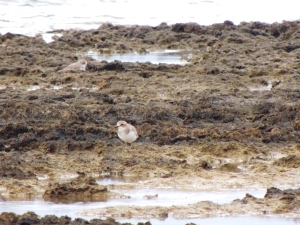 Greater Sand Plover Agios Trias 26th October 2015 (c) Cyprus Birding Tours