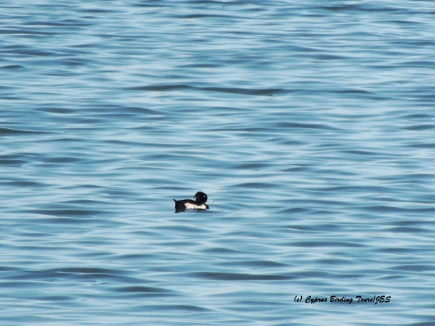 Tufted Duck male Larnaca Sewage Works 27th October 2015 (c) Cyprus Birding Tours