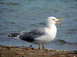 Yellow-legged Gull Spiros Beach 19th October 2015 (c) Cyprus Birding Tours
