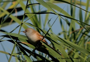 Bearded Reedling female Lower Ezousas 18th November 2015 (c) Cyprus Birding Tours