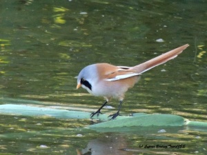 Bearded Reedling male Lower Ezousas Pool 18th November 2015 (c) Cyprus Birding Tours