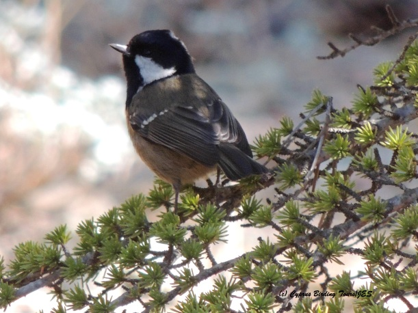 Coal Tit Troodos 20th November 2015 (c) Cyprus Birding Tours