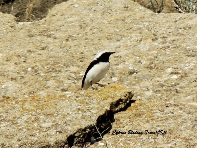 Finsch's Wheatear Agios Sozomenos 23rd November 2015 (c) Cyprus Birding Tours