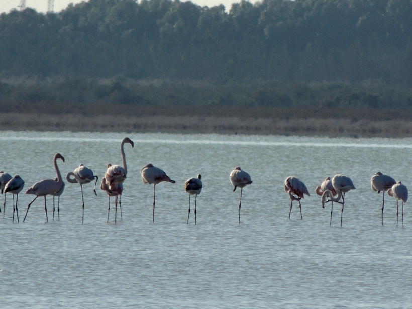 Greater Flamingo Akrotiri Salt Lake 11th November 2015 (c) Cyprus Birding Tours