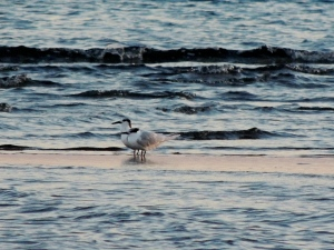 Sandwich Tern Oroklini Beach 14th November 2015 (c) Cyprus Birding Tours