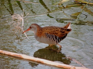 Water Rail Lower Ezousas 16th November 2015 (c) Cyprus Birding Tours