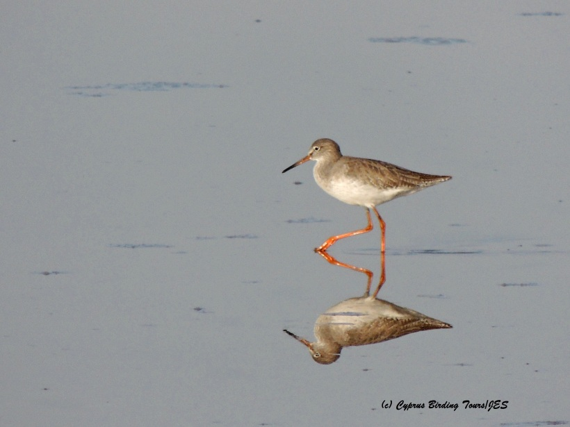 Common Redshank, Meneou Pool, 15th December 2015 (c) Cyprus Birding Tours