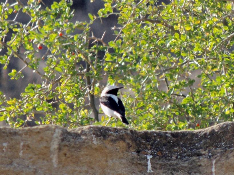 Finsch's Wheatear, Agios Sozomenos 14th December 2015 (C) Cyprus Birding Tours