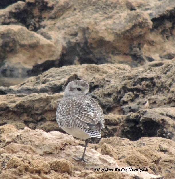 Grey Plover roosting Agia Trias 18th December 2015 (c) Cyprus Birding Tours
