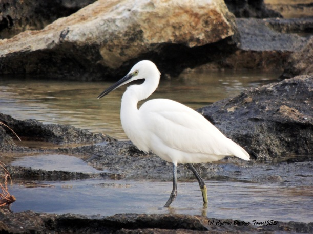 Little Egret, Agia Thekla 18th December 2015 (c) Cyprus Birding Tours