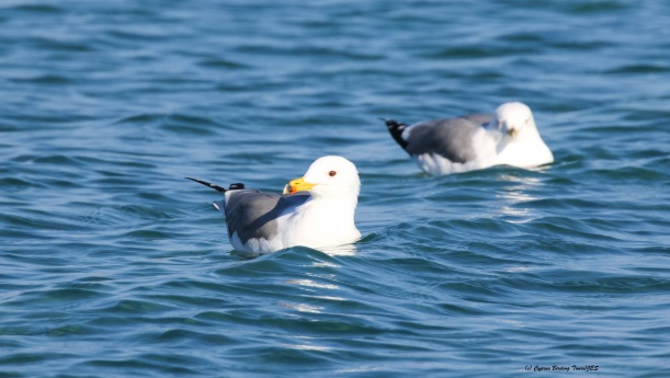 Armenian Gull Lady's Mile 29th January 2016 (c) Cyprus Birding Tours