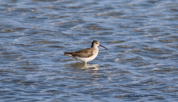 Common Redshank Lady's Mile 29th January 2016 (c) Cyprus Birding Tours