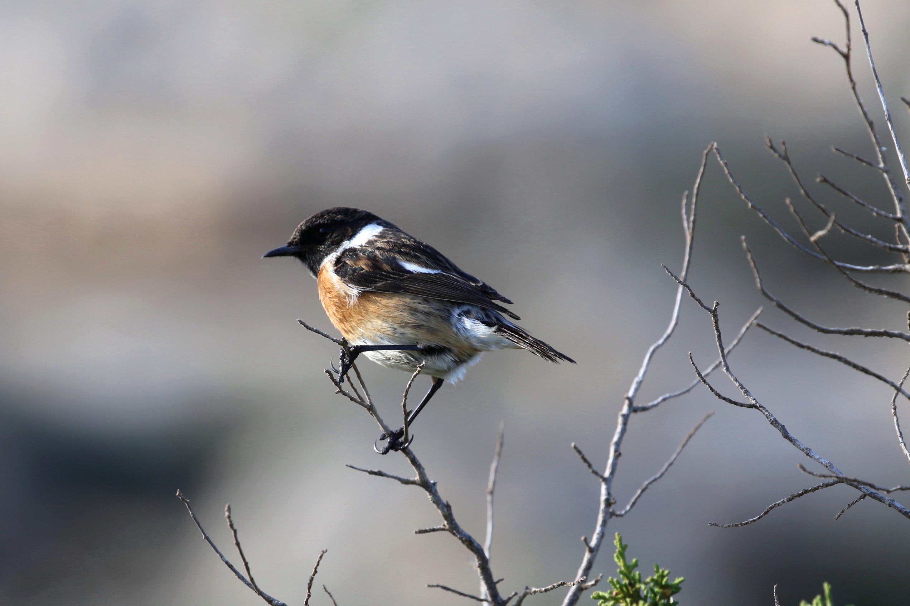 Common Stonechat, Cape Greco, 8th January 2016 (C) Cyprus Birding Tours
