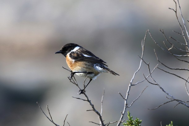 Common Stonechat, Cape Greco, 8th January 2016 (C) Cyprus Birding Tours