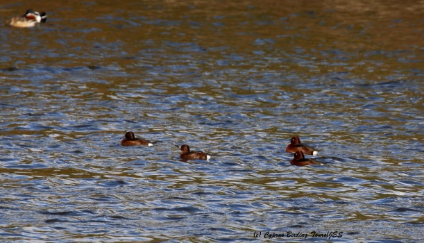 Four Ferruginous Duck, Athalassa Park 19th January 2016 (c) Cyprus Birding Tours
