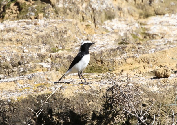 Finsch's Wheatear, Agios Sozomenos 15th January 2016 (c) Cyprus Birding Tours