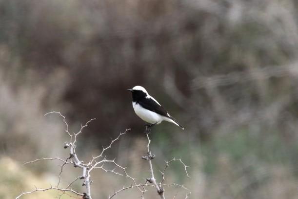 Finsch's Wheatear, Agios Sozomenos 21st January 2016 (c) Cyprus Birding Tours