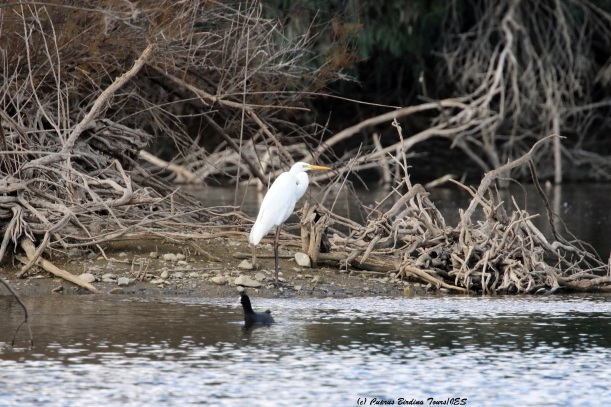 Great Egret Athalassa Park 19th January 2016 (c) Cyprus Birding Tours