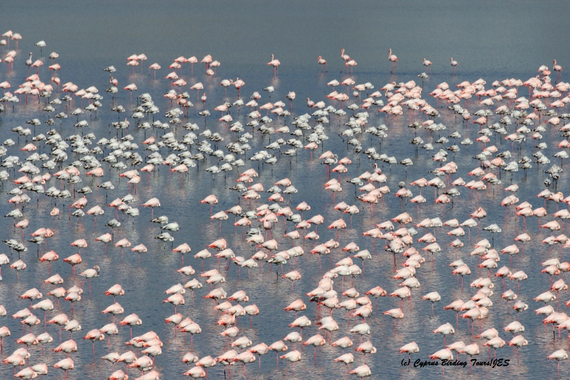 Greater Flamingo Larnaca Salt Lake 16th January 2016 (c) Cyprus Birding Tours