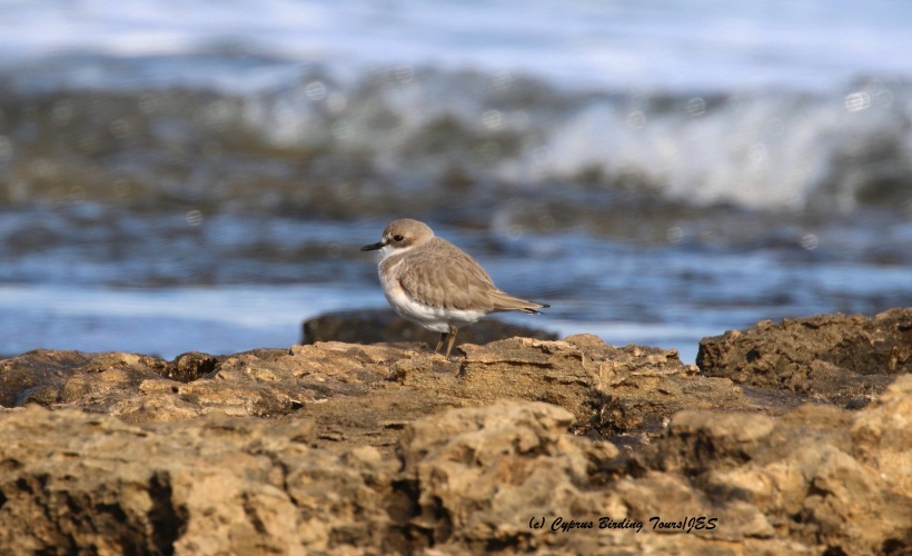 Greater Sand Plover Agia Trias 22nd January 2016 (c) Cyprus Birding Tours