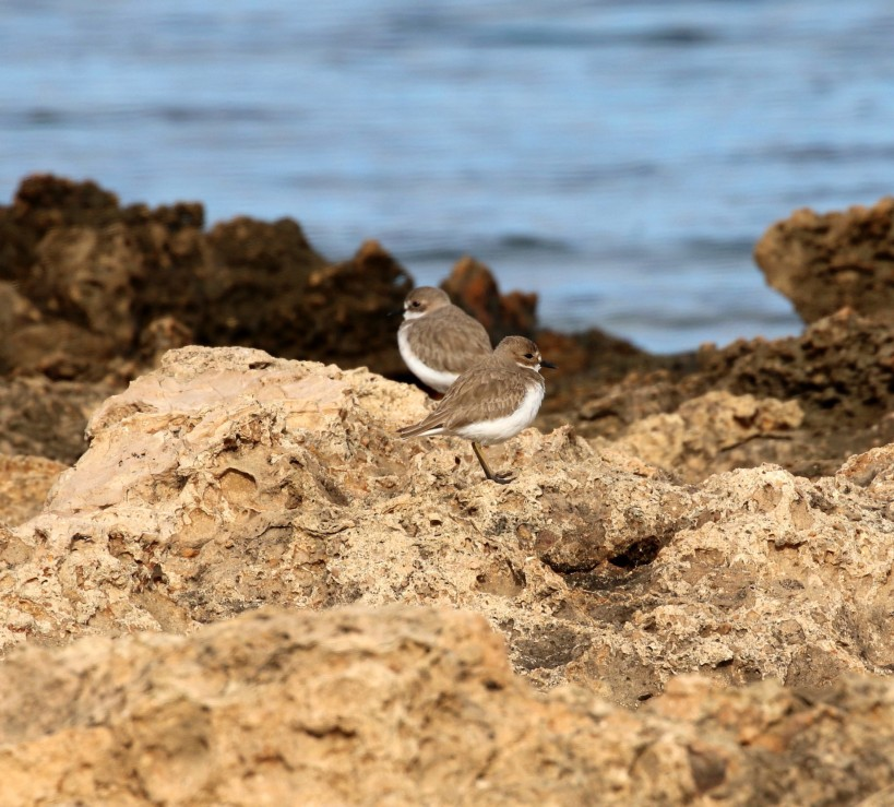 Greater Sand Plover, Agia Trias 8th January 2016 (c) Cyprus Birding Tours