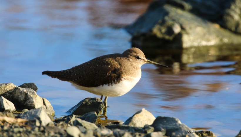 Green Sandpiper Zakaki Marsh 29th January 2016 (c) Cyprus Birding Tours