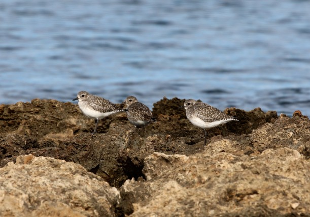 Grey Plover, Agia Trias 8th January 2016 (c) Cyprus Birding Tours