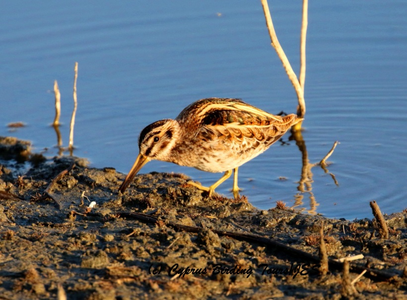 Jack Snipe, Germasogeia Dam 9th January 2016 (c) Cyprus Birding Tours