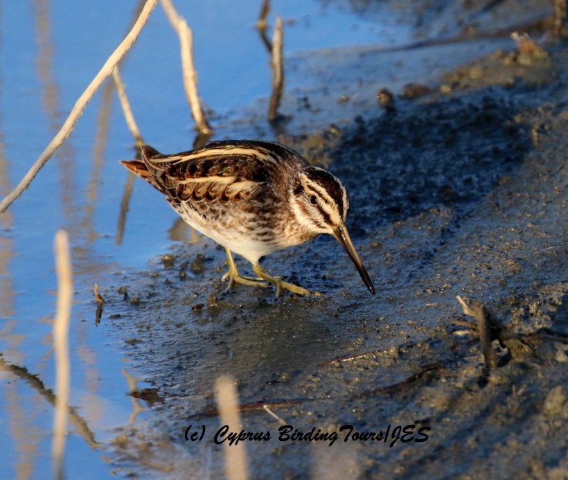 Jack Snipe Germasogeia Dam 9th January 2016 (c) Cyprus Birding Tours
