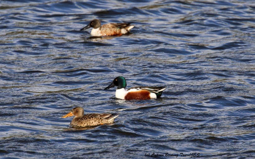 Northern Shoveler Athalassa Park 19th January 2016 (c) Cyprus Birding Tours
