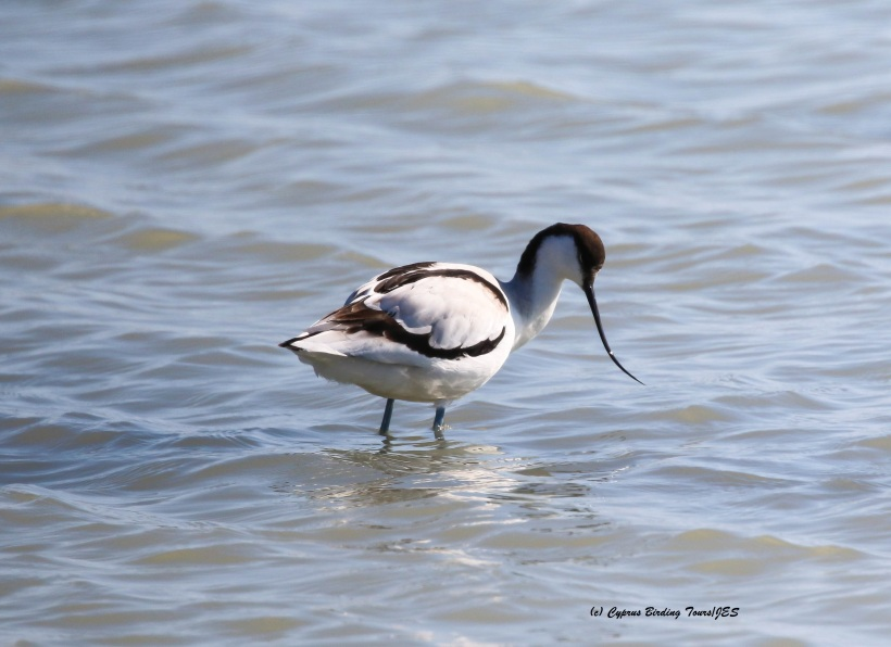 Pied Avocet Lady's Mile 29th January 2016 (c) Cyprus Birding Tours