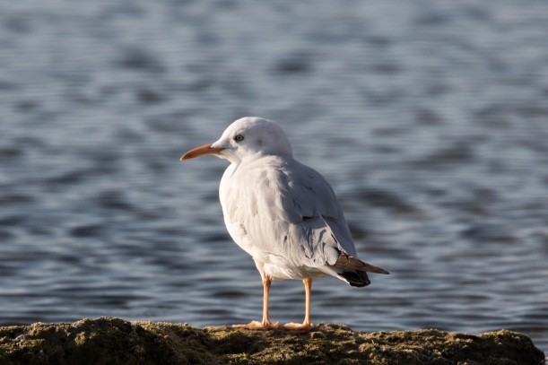 Slender-billed Gull Kefalos Beach 30th January 2016 (c) Cyprus Birding Tours