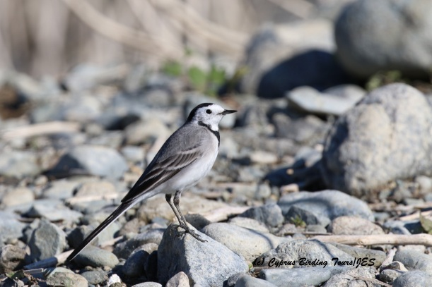 White Wagtail Germasogeia Dam January 9th 2016 (c) Cyprus Birding Tours