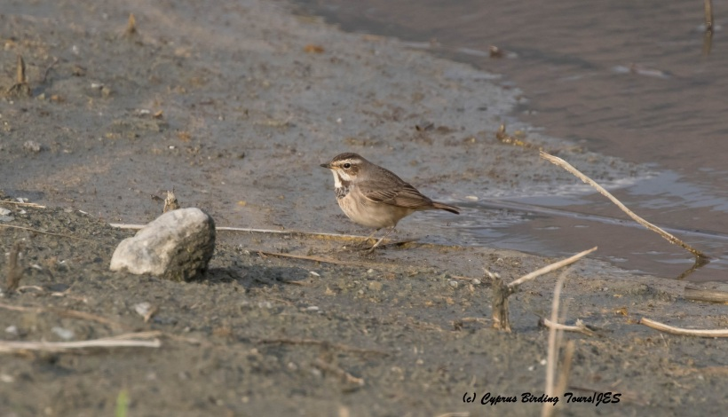 Bluethroat Germasogeia Dam 5th February 2016 (c) Cyprus Birding Tours