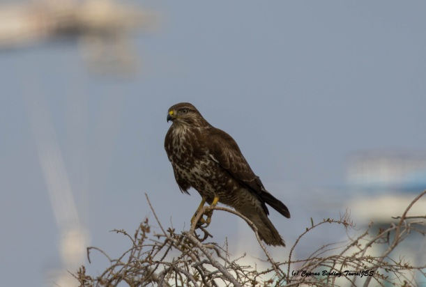 Common Buzzard Lady's Mile 5th February 2016 (c) Cyprus Birding Tours
