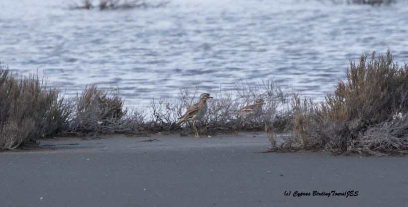 Eurasian Stone Curlew Larnaca Airport Pools South 7th February 2016 (c) Cyprus Birding Tours