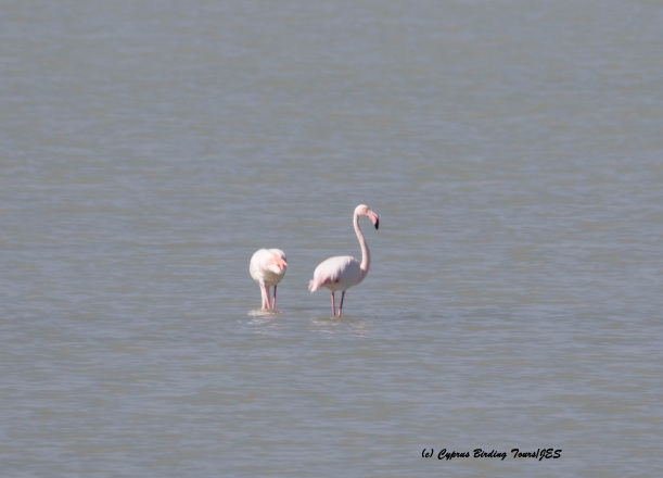 Greater Flamingo, Larnaca 25th February 2016 (c) Cyprus Birding Tours