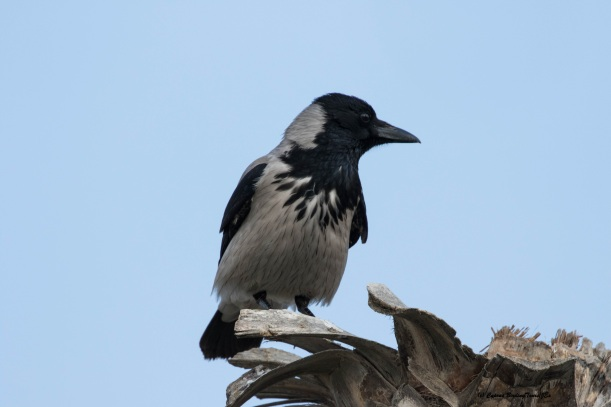 Hooded Crow Lady's Mile 5th February 2016 (c) Cyprus Birding Tours