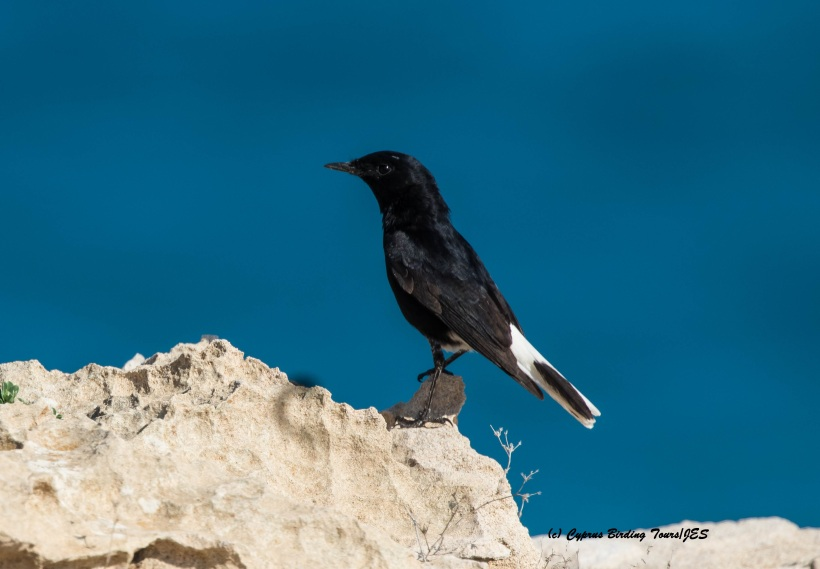White-crowned Wheatear Cape Greco 26th February 2016 (c) Cyprus Birding Tours