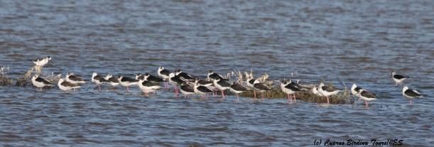 Black-winged Stilt, Meneou Pool, 16th March 2016  (c) Cyprus Birding Tours