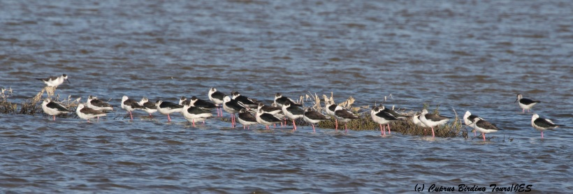 Black-winged Stilt, Meneou Pool, 16th March 2016  (c) Cyprus Birding Tours