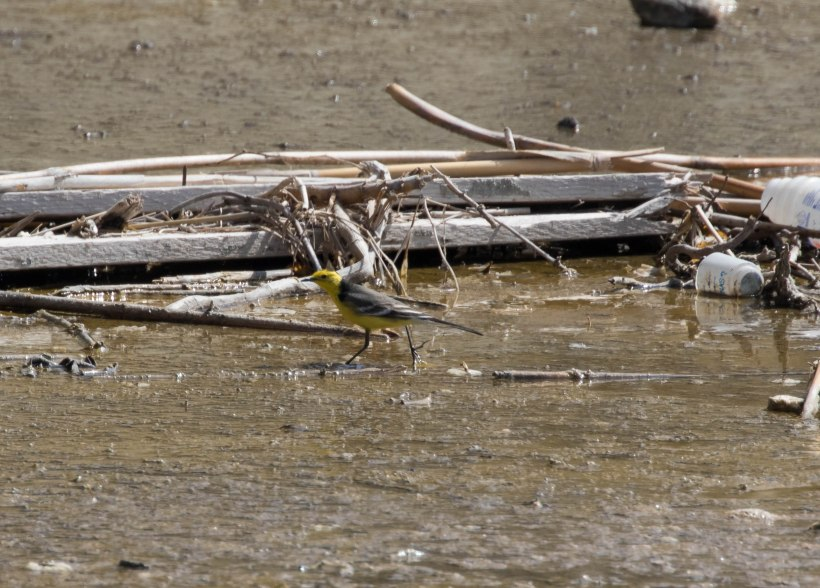 Citrine Wagtail, Leivadia, 24th March 2016 (c) Cyprus Birding Tours