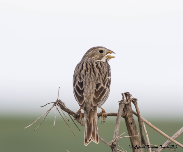 Corn Bunting, Larnaca Salt Lake 16th March 2016 (c) Cyprus Birding Tours